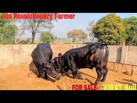 FOR SALE- VIRAT Bull Son of GHEE-Line Buffalo. 2 Kilo Ghee per Day- Maman Dairy, Village KARODHA.