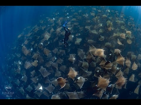 Diving With Giant Schools Of Mobula Rays In Baja California Sur, Mexico