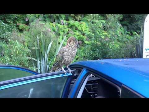 попугаи Кеа ( Nestor notabilis) проверка машины / wild kea parrot