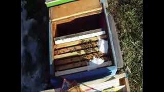Repeat youtube video cum se hranesc familiile de albine iarna - turte / apicultura stupina Godinesti