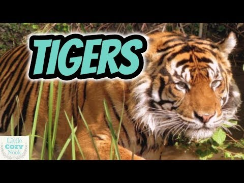 TIGERS - Educational Video For Kids - Tiger Facts For Kids
