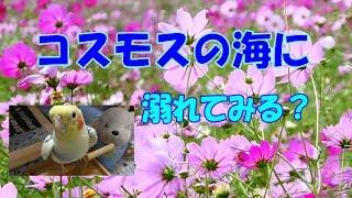 可愛いオカメ君のお見舞いソング♪ &400万本のコスモスをどうぞ!国立昭和記念公園 オカメインコ桃太郎 thumbnail