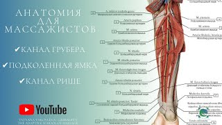 Анатомия для массажистов. Канал Грубера.Канал Рише. Подколенная ямка. Теория. Anatomy