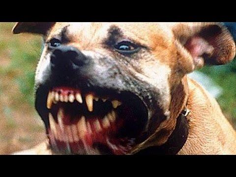 كلب بيتبول يهاجم فتى 14 عاما ويصيبه بجراح مع جمال العمواسي