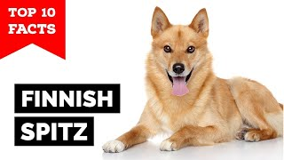 Finnish Spitz  Top 10 Facts