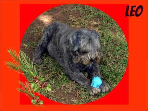 BOUVIER DES FLANDRES RESCUE DOGS SA