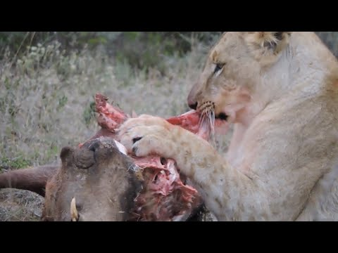 Lions vs Prey The Ultimate Compilation