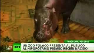 Un zoo polaco celebra el nacimiento de un hipopótamo pigmeo