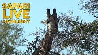 The Giraffe Roll with Ralph Kirsten thumbnail