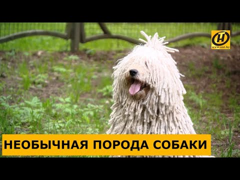 Пули, или венгерская овчарка: веселая собака-компаньон и верный спутник