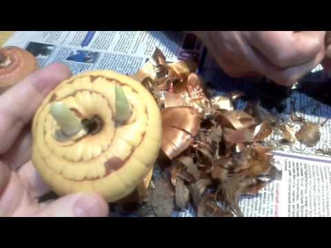 Как правильно подготовить луковицы гладиолусов к посадке.