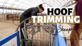 Three Days of Hoof Trimming Sheep (HOW WE TRIM SHEEP HOOVES): Vlog 176