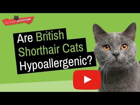 BRITISH SHORTHAIR: Are British Shorthair Cats Hypoallergenic?
