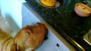 French Mastiff Capone Willing For Food 6 Months Old - Dogue De Bordeaux