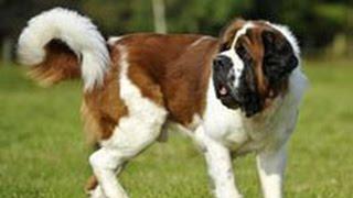 Сенбернар. Лучшие породы собак.