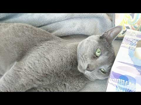 Russian blue intrigued by kleenex box