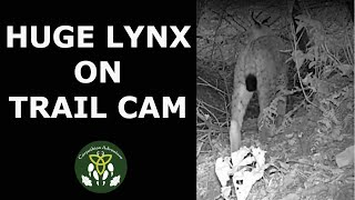 Amazing Immense Lynx IR trailcam footage thumbnail