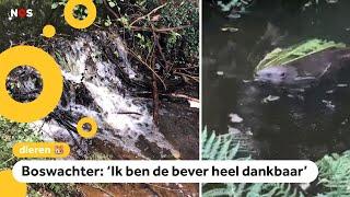 Bever redt natuurgebied met zijn dam