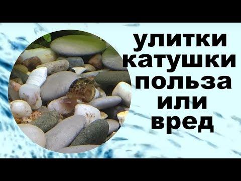 Улитки катушки в аквариуме польза или вред.