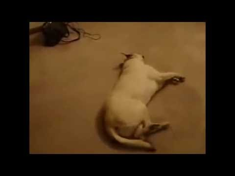 Ghetto Sleep Talking Dog Dreams About Running From The Police (Funny Voiceover)