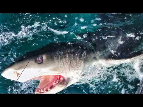 Tiger Fishing Hammerhead Sharks With Goliath Grouper ft Chew On This