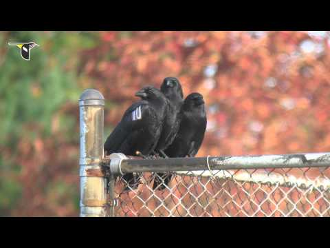 Caw vs. Croak: Inside the Calls of Crows and Ravens
