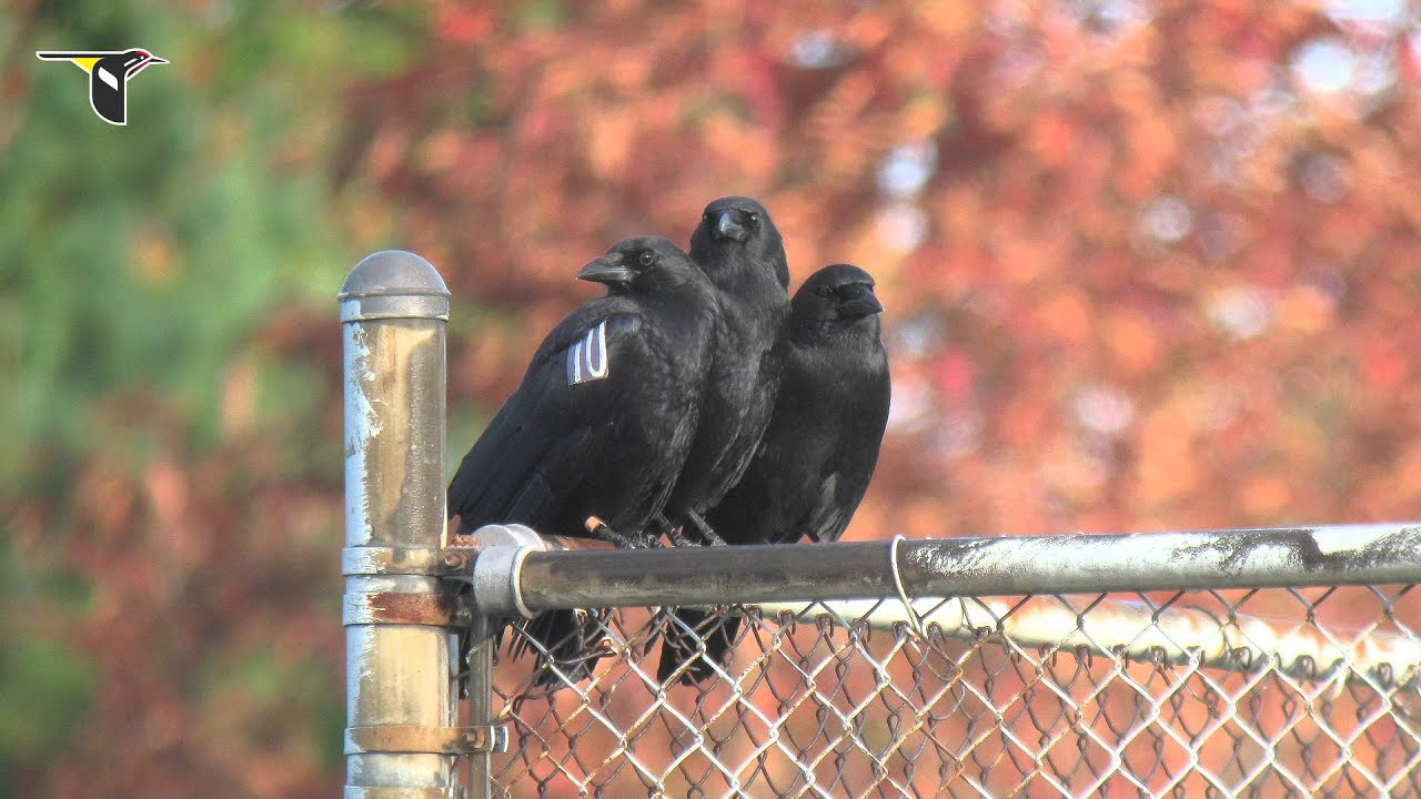 Caw Vs Croak Inside The Calls Of Crows And Ravens Youtube