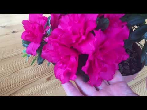 Азалия может цвести и при очень высоких температурах воздуха.