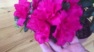 азалия может цвести и при очень высоких температурах воздуха