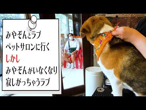 【愛犬のシャンプー】みやぞん、ビーグル犬のラブとペットサロンに行くのですが…