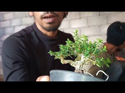Bonsai Sancang Mame | PROYEK 1000 TANAM Koleksi Bang Yos Lombok Timur