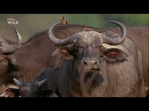 Африканские охотники 3 сезон 6 серия - Схватка буйволов