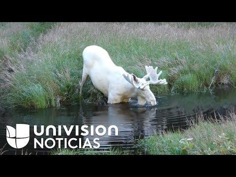 El rarísimo ejemplar de alce blanco captado en Suecia cuando se daba un baño