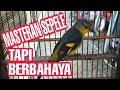 Burung Mantenan Gacor Ampuh Buat Masteran  Mp3 - Mp4 Download