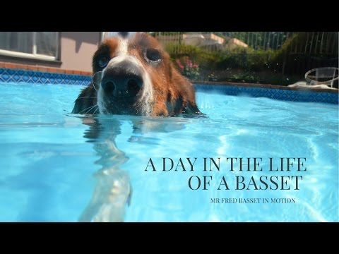 A day in the life of a basset