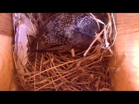 Estonia Starling Egg 22 04 2018 14 45