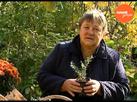 Брусника (Vaccinium vitis-idaea). Где и когда собирать бруснику .