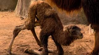 New Baby Camel Just Born - Cincinnati Zoo