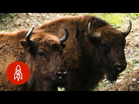 Re-wilding Europe, One Bison At A Time