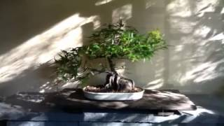 Japanese maple bonsai air layered 2