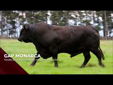 Touro GAP Monarca - Brangus indicado para IATF - RENASCER BIOTECNOLOGIA VIDEO