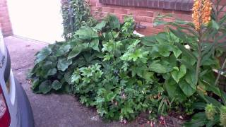 2011-09 - Hedychium coccineum