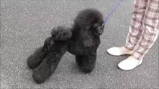 Пудель, видео с выставки собак в Великом Новгороде