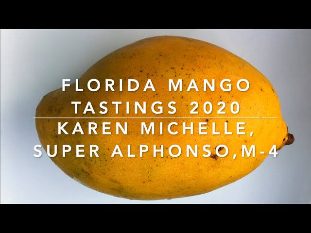 Florida Mango Tastings 2020:  Karen Michelle, M-4 and Super Alphonso Mangoes