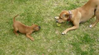 How To Train A Puppy To Come - Perfect Recall every time!