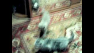 Котёнок бьёт кошку