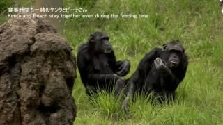 多摩動物公園 チンパンジー 2017年6月撮影 Chimps at Tama Zoological P...