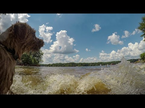 Norfolk Terriers Stop Making Waves!
