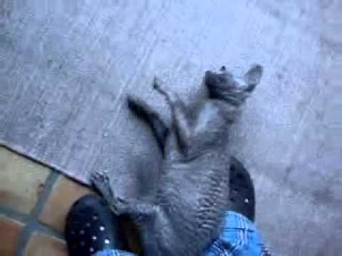 Cat Trick 001 – The Monkey Rolls Over.WMV