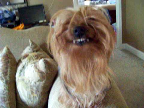 Yorkie Smiles On Command